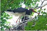 Altvogel beim Füttern im Nest 2015